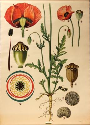 Red Poppy, Papaver bracteatum ; Jung-Koch-Quentell; 1975; WC-HB9/1-2013