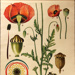Red Poppy, Papaver bracteatum ; Jung-Koch-Quentell; 1975; WC-HB9/1-2013