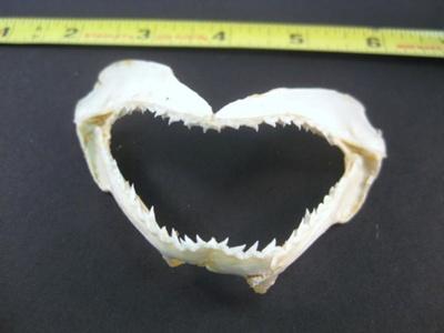 Shark Jaw; 2013.1.428