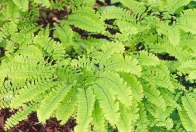 Adiantum pedatum Northern Maidenhair Fern; Polypodiales--Pteridaceae; Native plant (Virginia)