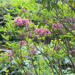 Kalmis latifolia Mountain Laurel