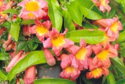 Bignonia capreolata Crossvine; Lamiales--Bignoniaceae; Native plant (Virginia)