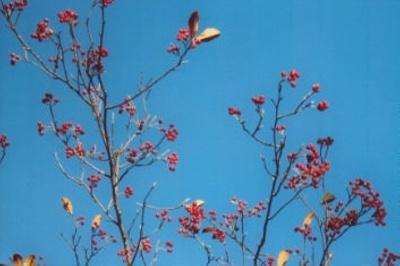 Aronia arbutifolia Red chokeberry; Rosales--Rosaceae; Native plant (Virginia)