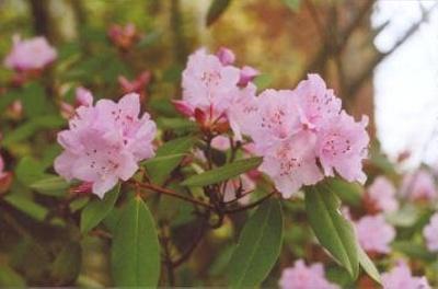 Rhododendron carolinianum Carolina rhododendron; Ericales--Ericaceae; Introduced species