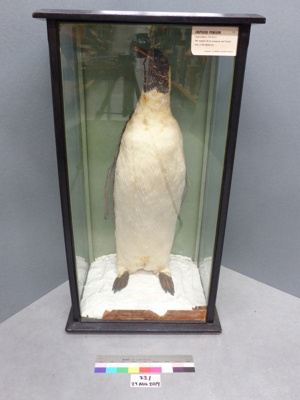 Emperor Penguin; 23.1
