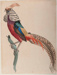 Chinese Pheasant; Shirley Morris EDWARDS; 1935; 1936_2