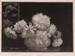 Asters; Lionel LINDSAY, 1874-1961; 1936; 1938_95