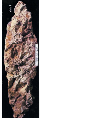 Canowindra Slab 9; Multiple; Canowindra Dig site  Fish Fossil Drive Canowindra; S-1995-009