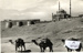 Photograph of 3 camels in Cairo in 1937; SHHMG:A4144