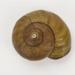 Snail? shell; 02466