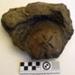 Fossil Kohatu/Stone; RA2019.340