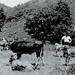 Photo, Okau Calf Day; RAP2018.0199