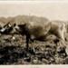 Photo, Jersey Cattle; K2003/64/b.1