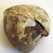Fossil Shell/Pūmoana; RA2019.271