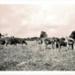 Photo, Eight bulls/steers (approx) in paddock; RAP2020.0203