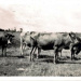 Photo, Four bulls/steers with horns; RAP2020.0202
