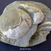 Crab Shell Fossil; RA2019.354