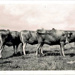 Photo, Five bulls/steers in a row; RAP2020.0200
