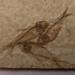 Fish fossil; Animalia, Osteichthyes (bony fish), Gosiutichthys parvus; skeleton; Wyoming, USA; 2019.8