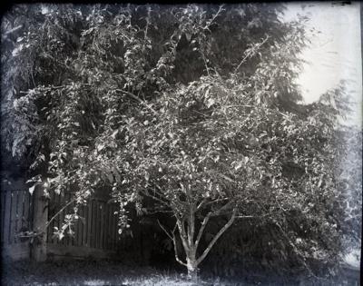 Photograph - Blooming tree.; Aitken, John; 2017.1.334