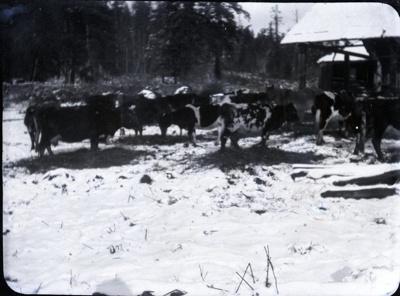 Cows in a field; Aitken, John; 2017.1.061