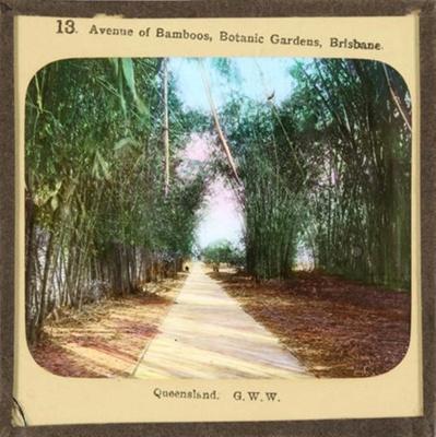 Avenue of Bamboos, Botanic Gardens, Brisbane - partial set - slide 4/7; George Washington Wilson & Co., Scotland; c.1890; HL.MJ.00106