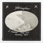 Lantern Slide - 'Stick-Nest Building Rat', 1920-1940; J R. Kinghorn; 1920-1940; MV.MM.35600