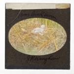 Lantern Slide - 'Young Black Swan', 1920-1940; J R. Kinghorn; 1920-1940; MV.MM.36016