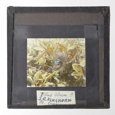 Lantern Slide - 'Blue Wren', 1920-1940; J R. Kinghorn; 1920-1940; MV.MM.35971