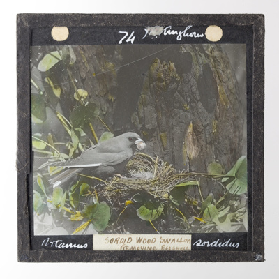 Lantern Slide - 'Sordid Wood Sallow', 1920-1940; J R. Kinghorn; 1920-1940; MV.MM.35985