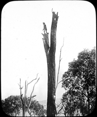 """A black boy"". A burnt tree near Tallangatta : part of scenes in the Otway Ranges region of Victoria / [John Flynn?]; Flynn, John, 1880-1951; 1912-1914; HL.NL.22732265"