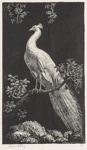 The White Peacock; Lionel Lindsay (b.1874, d.1961); 1925; 2016.163