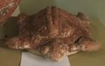 Amerindian Turtle; Grenada
