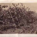 Fruit trees in orchard, Cheltenham; 1936?; P5516